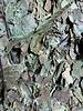 Walnootbladeren gr. gewicht