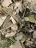 Feuilles de tilleul - Tilia cordata