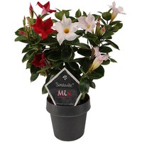 Mandevilla Sundaville mix Red & White