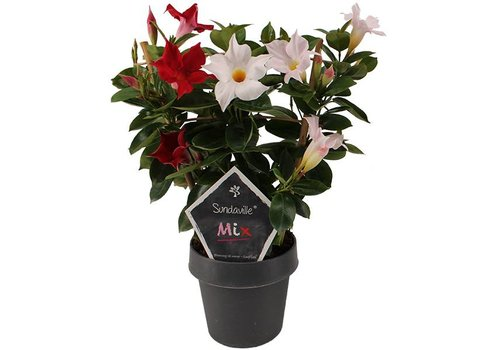 Sundaville Mandevilla Red & White Mix