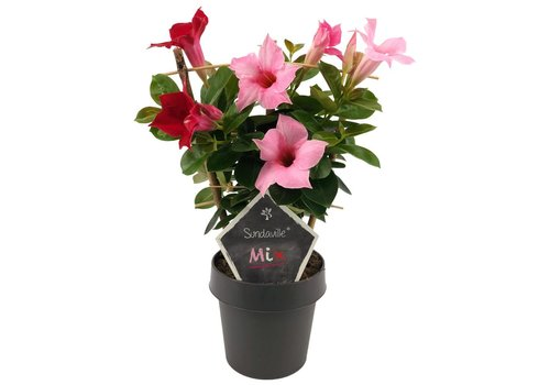 Sundaville Mandevilla Red & Cream Pink Mix