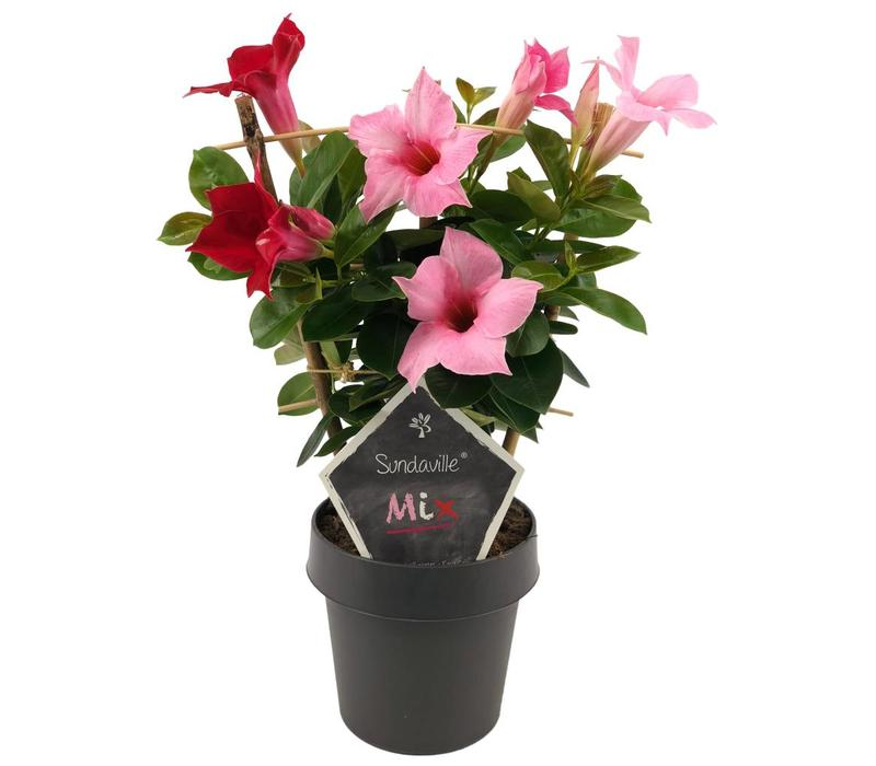 Mandevilla Sundaville Red & Cream Pink Mix
