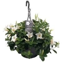 Mandevilla White Hanging pot