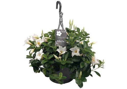 Dipladenia Mandevilla White Hanging pot
