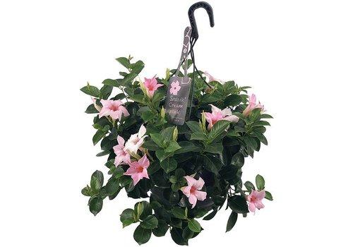 Sundaville Mandevilla Cream Pink Hanging pot