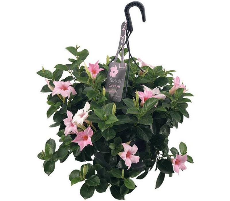 Mandevilla Sundaville Cream Pink Hanging pot
