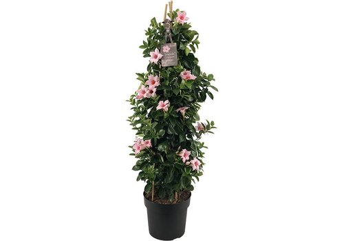Sundaville Mandevilla Cream Pink Tower XL