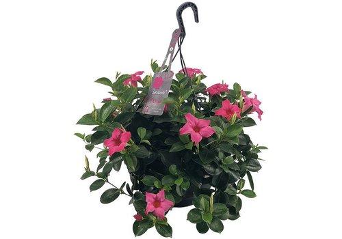Sundaville Mandevilla Pink Hanging pot