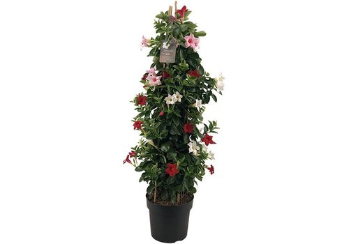 Sundaville Mandevilla Tricolor Tower XL