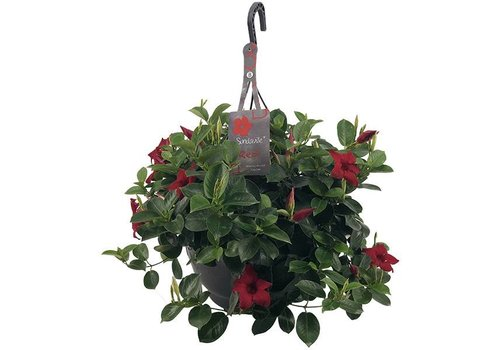 Sundaville Mandevilla Red Hanging pot