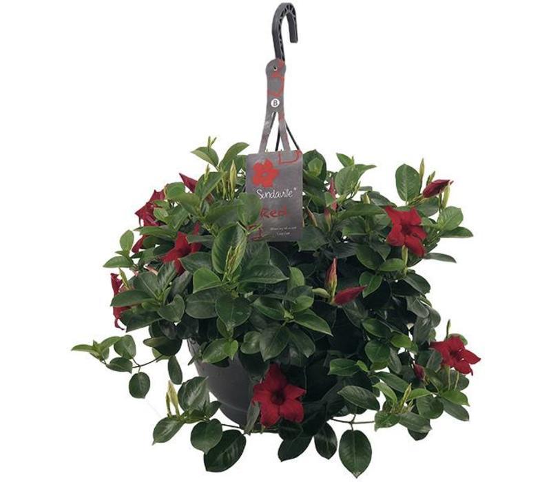 Mandevilla Sundaville Red Hanging pot