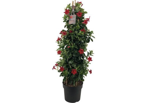 Sundaville Mandevilla Red Piramide XL
