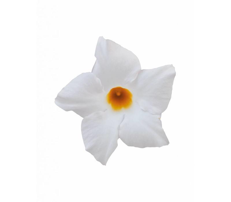 Mandevilla White Hangpot