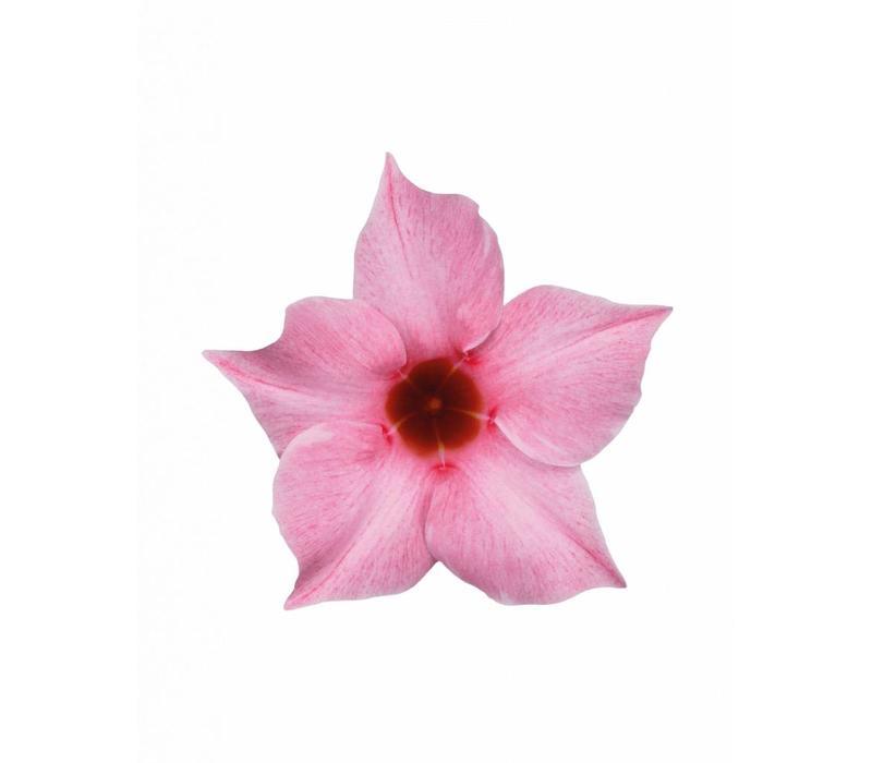 Mandevilla Sundaville Cream Pink Hängetopf