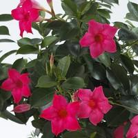 Mandevilla Sundaville Pink