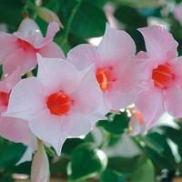 Mandevilla Sundaville Cream Pink