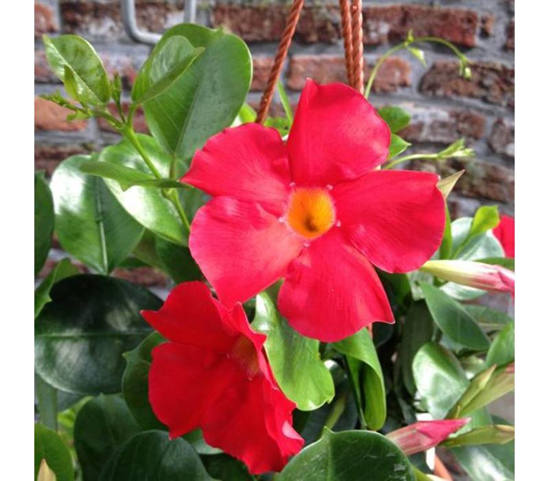 Mandevilla Sundaville Scarlett Rot