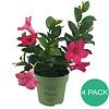Sundaville Mandevilla Sundaville Pink Mini (4 stuks)