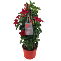Mandevilla Sundaville Red Tower