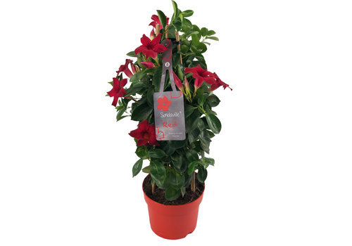 Sundaville Mandevilla Red Tower