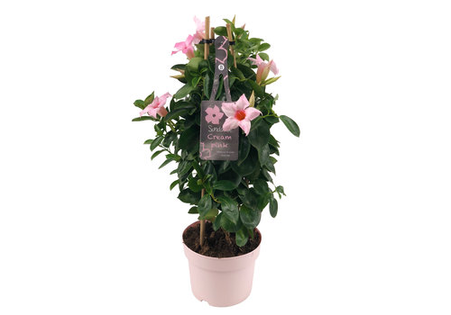 Sundaville Mandevilla Cream Pink Tower