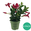 Sundaville Mandevilla Sundaville Red Mini(4 pieces)