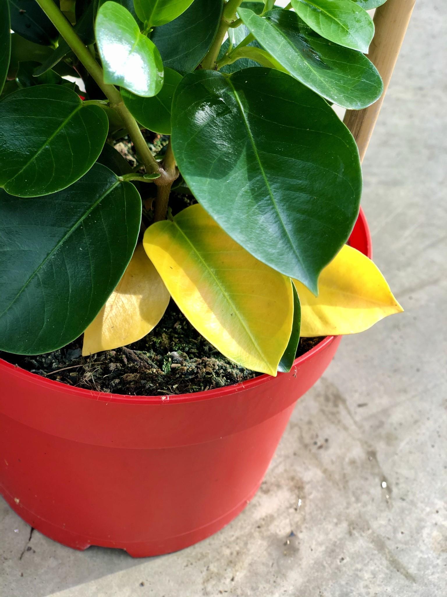 Feuilles jaunes en raison d'une utilisation excessive d'eau