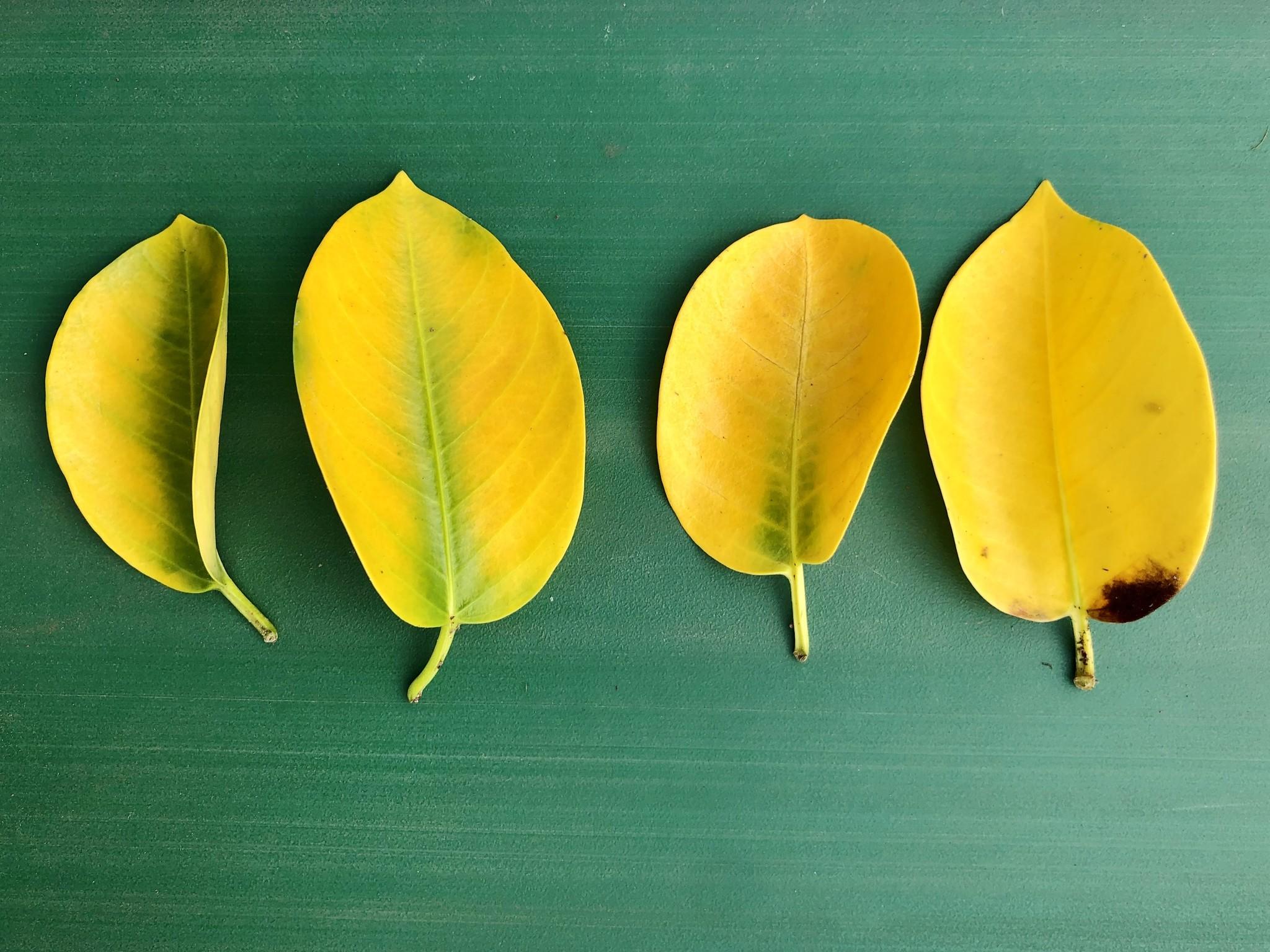 La formation des feuilles jaunes