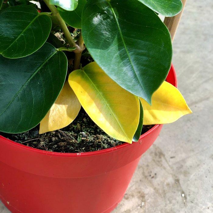 Mandevilla geel blad