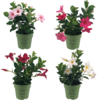 Sundaville Mandevilla Sundaville Mini Mix (4 pieces)
