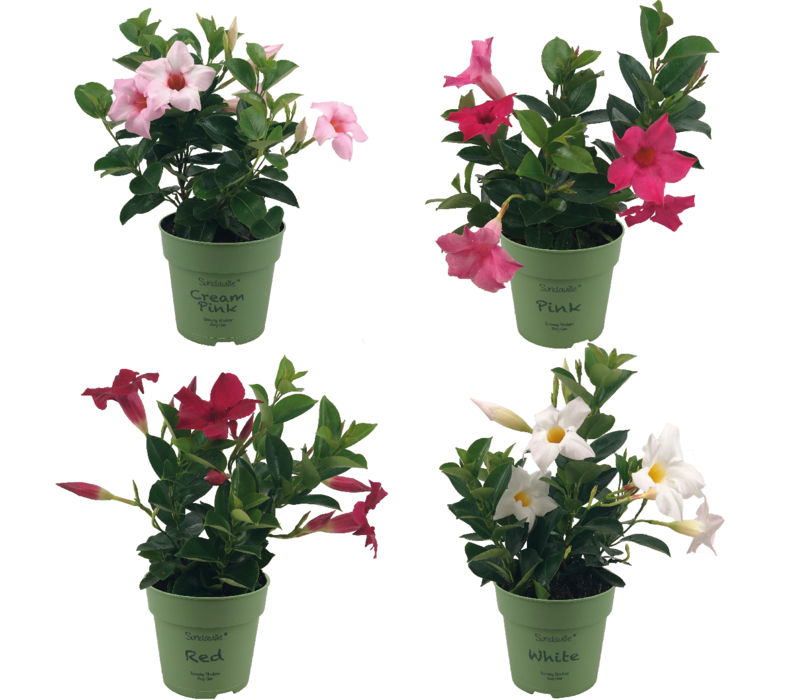 Mandevilla Sundaville Mini Mix (4 pieces)