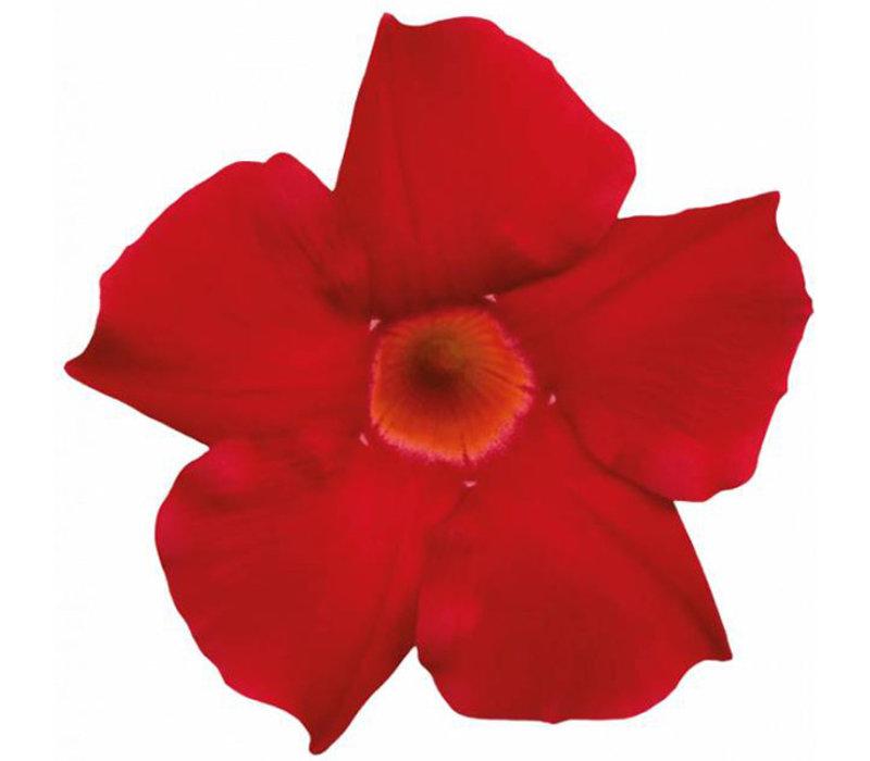 Mandevilla Sundaville Scarlett Red
