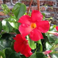 Dipladenia Sundaville Scarlett Red