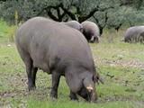 Ibérico varken (Spaans)