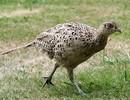 Fazant (hen)