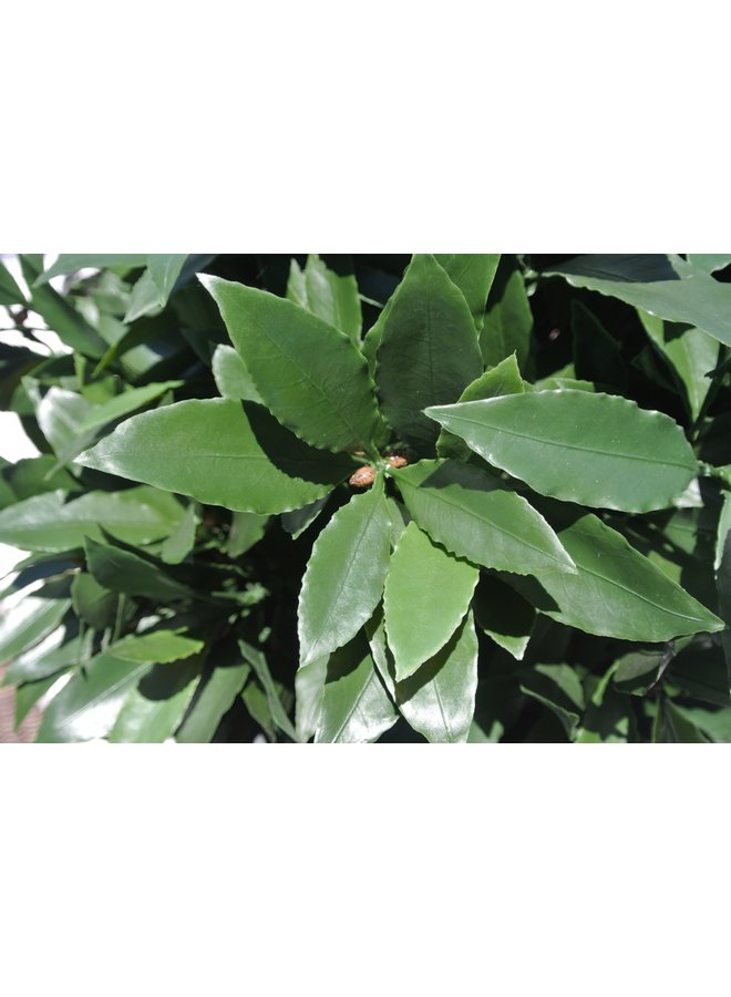 Small Artificial Laurel Plant in pot 35 cm  UV-protected for the outdoors