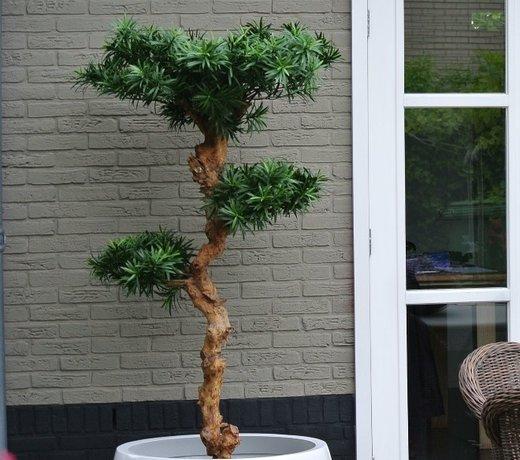 Artificial outdoor Podocarpus