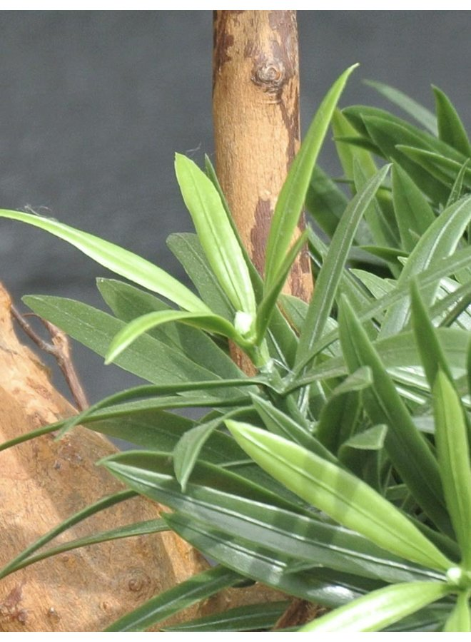 Artificial outdoor Podocarpus plant on real wood 70 cm with UV protection