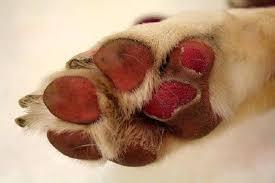 DOGSHIP.biz   Verbranden honden voet