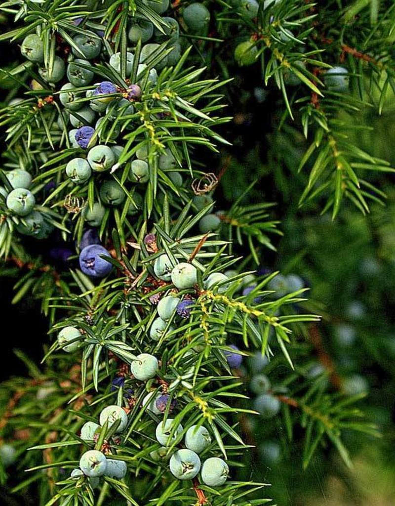 Bio Wacholder - Juniperus communis