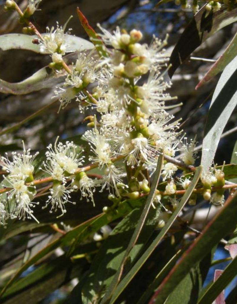 Cajeput - Melaleuca leucadendra