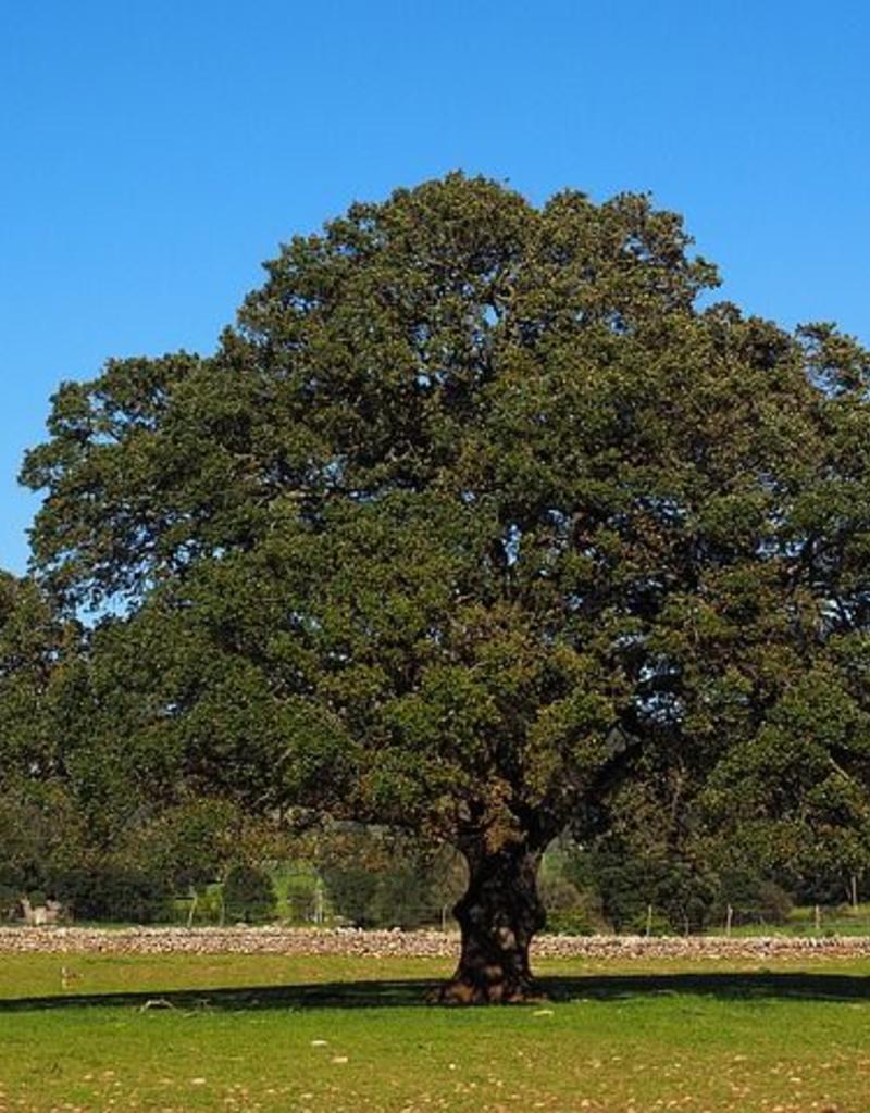 Bio Ravintsara - Cinnamomum camphora