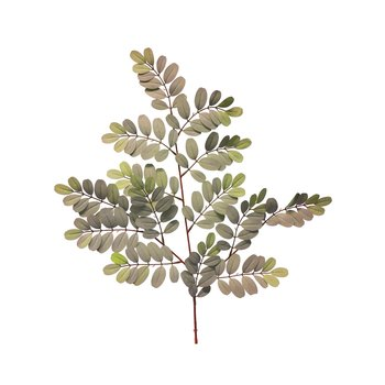 Robinia pseudoacasia green 70cm