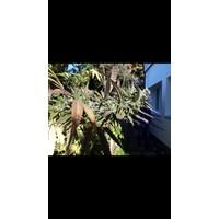 Eletta Campana Outdoor Blüten 0.2% thc Eletta Campana Outdoor Buds 0.2% thc