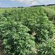 Feminisierte Samen Hanf, Sortenkatalog mit hohem CBG Anteil, 5-8% CBG