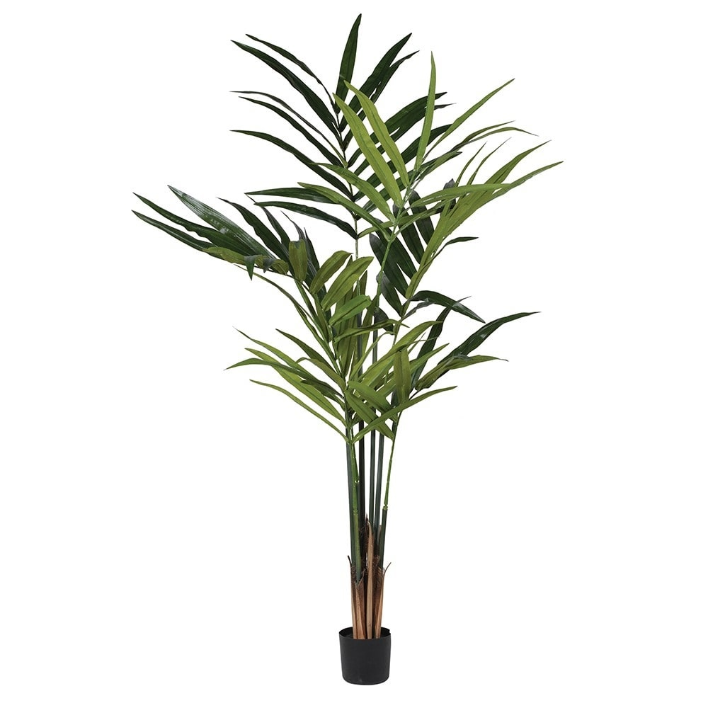 Green Kentia Palm In Black Plastic Pot