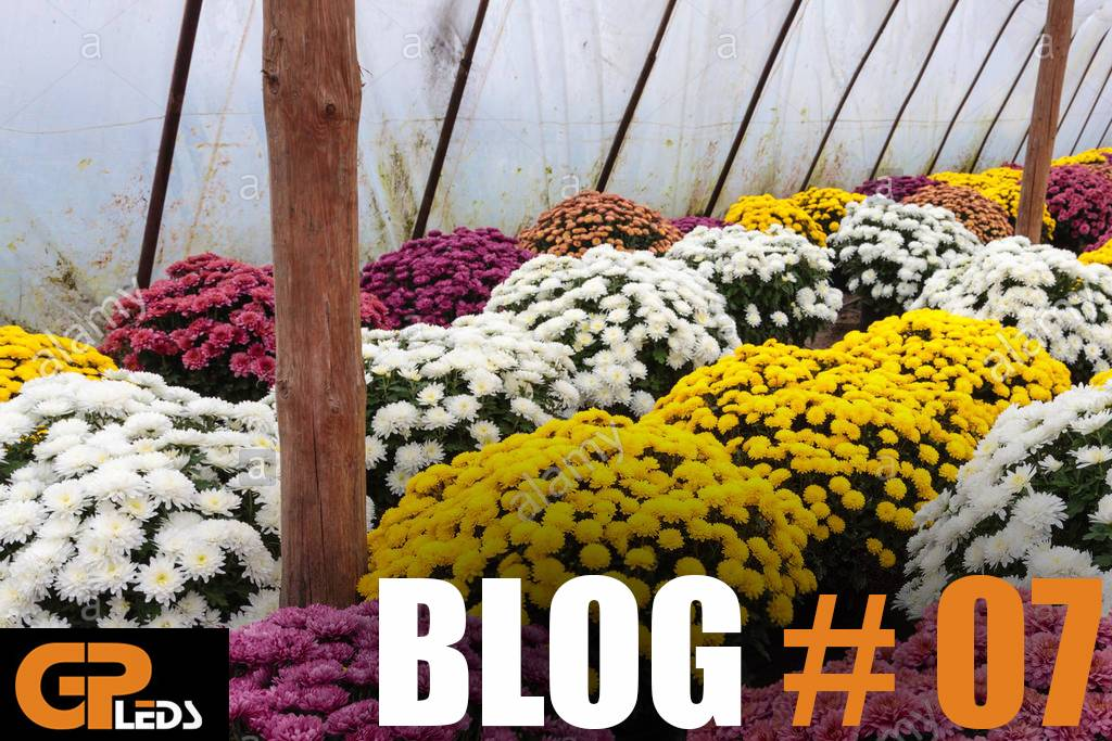 Blog #7 - Bewezen: LED-groeilampen leveren prachtige chrysanten