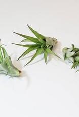 Airplants - Abdita - multiflora