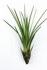 Airplants - Melanocrater groen