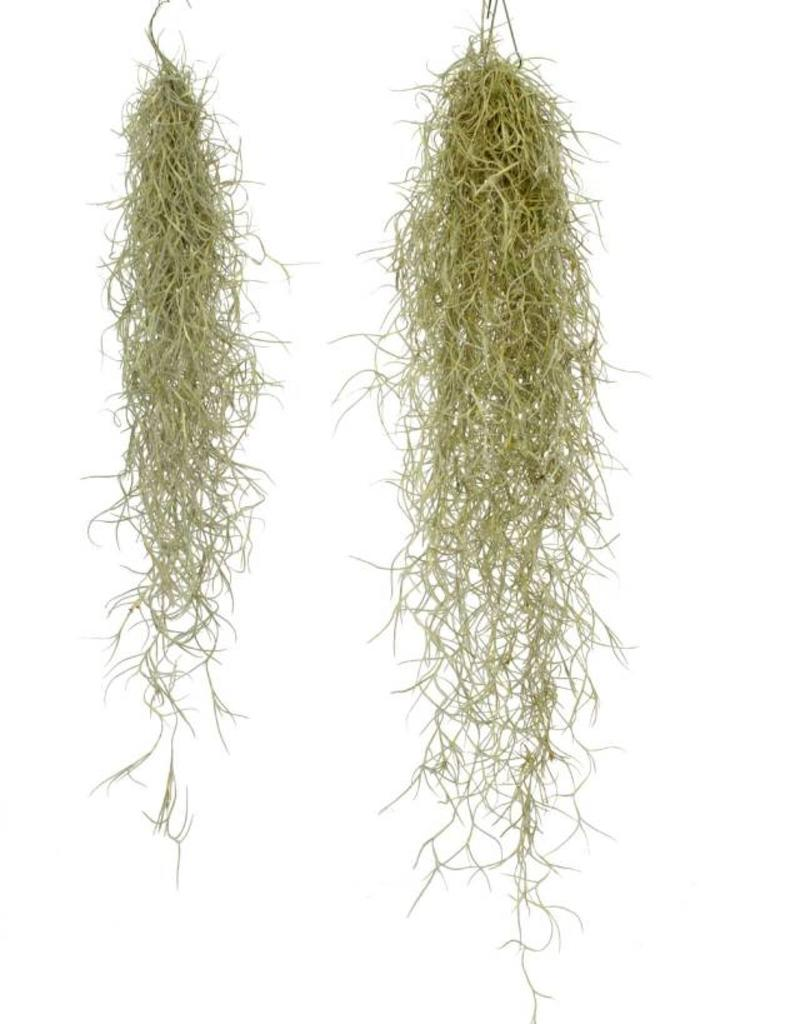 Airplant - Usneoides